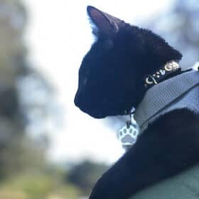 cat with harness on