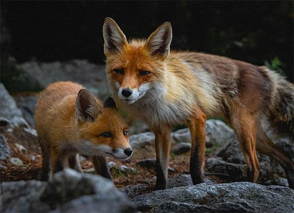 lovely foxes